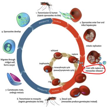 Combined drug therapy utilizing Imatinib in the treatment of Falciparum Malaria